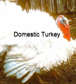 domestic-turkey-2
