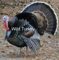 wild-turkey-with-text1