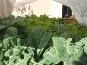 Collards and Mustard