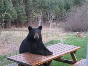 Bear Waiting for Handout