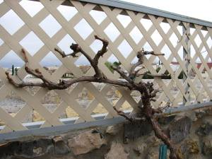 Flame Grape after Pruning