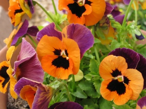 Interesting pansy color combo...